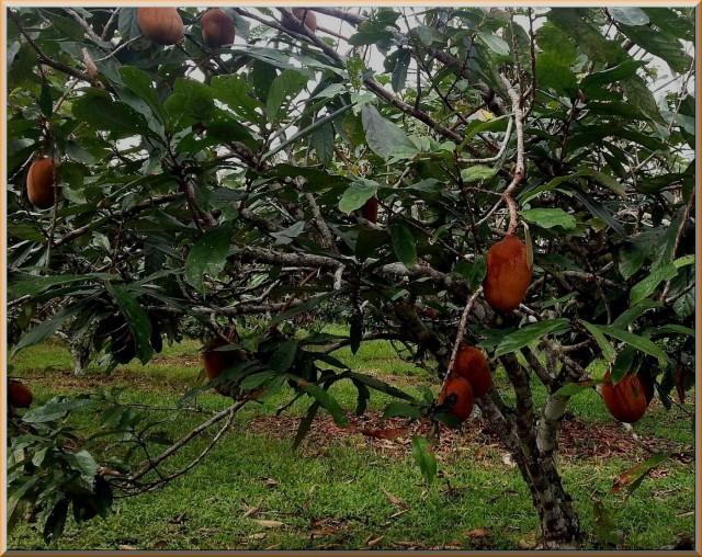 Cupuaçu árvore