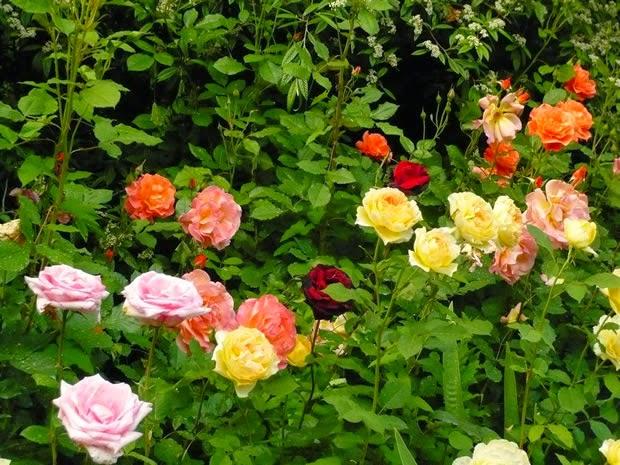 Várias rosas